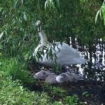 Baby swans on the walk to planetarium